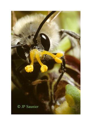 ohrys abeille