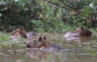 Capybara (Wasserschwein) im Amazonas