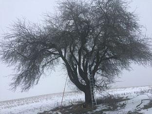 Obstbaumschnitt alter ungepflegter Bäume in Biberach an der Riss