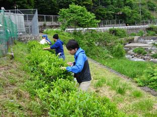 5月24日(水)、地産地消部会 茶摘み&茶葉加工体験の様子。