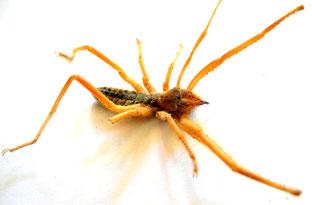 Walzenspinne (Solifugae, Camel Spider)