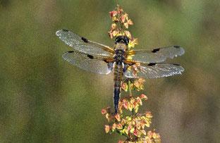 Die Vierfleck-Libelle ist an pflanzenreichen Teichen weit verbreitet und nicht gefährdet. Foto: Bockwinkel