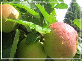 Äpfel im Regen ©www.balanceYou.ch