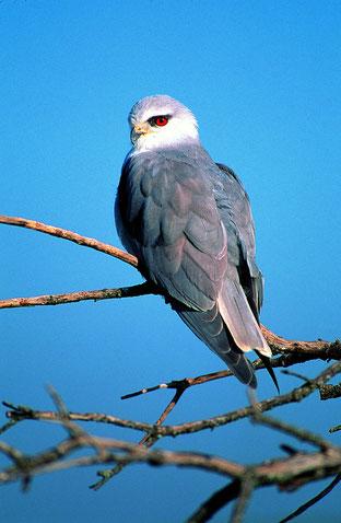 Gleitaar, ein seltener Greifvogel offener Dehesalandschaft