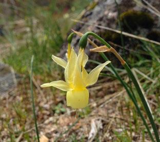 Engelstränen-Narzisse (Narcissus triandrus)