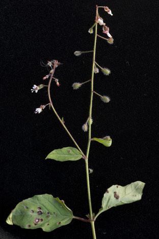 Die feinen Blüten des grossen Hexenkrauts. Foto Françoise Alsaker
