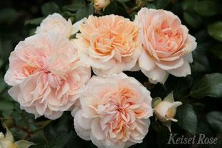 四季咲き性中輪バラ「ガーデン オブ ローゼズ」