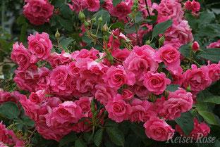 四季咲性中輪バラ「ローズ うらら」