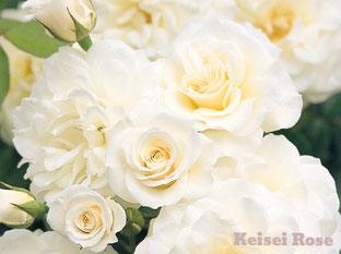 四季咲性中輪バラ「ファビュラス!」