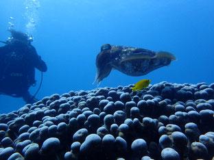 石垣島でのんびりダイビング「シメはコブシメ」ヒートハートクラブ