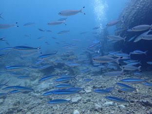 石垣島でのんびりダイビング「珊瑚三昧」ヒートハートクラブ