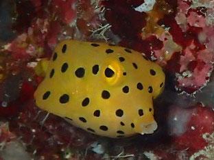 石垣島でのんびりダイビング「ミナミハコフグ幼魚」