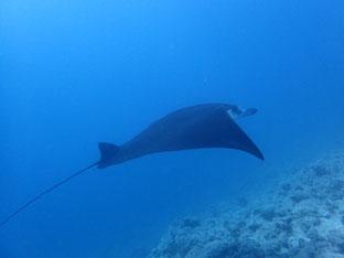 石垣島でのんびりダイビング「大崎でマンタ」ヒートハートクラブ