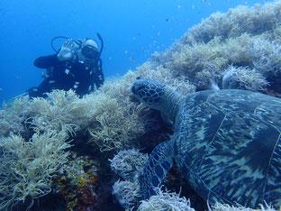 石垣島でのんびりダイビング「大きなウミガメ」ヒートハートクラブ