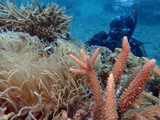 石垣島でのんびりダイビング「名蔵の珊瑚」ヒートハートクラブ