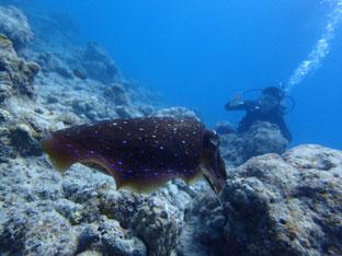 石垣島でのんびりダイビング「コブシメに遭遇」ヒートハートクラブ