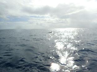 石垣島でのんびりダイビング「イルカに遭遇」ヒートハートクラブ