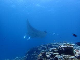 石垣島でのんびりダイビング「マンタ」ヒートハートクラブ