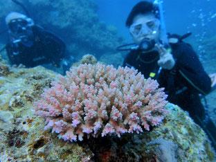 石垣島でのんびりダイビング「サンゴ復活」ヒートハートクラブ