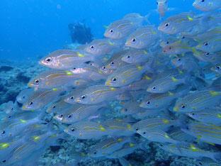 石垣島でのんびりダイビング「魚まみれ」ヒートハートクラブ
