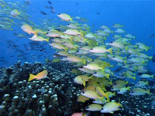 石垣島でのんびりダイビング「ヨスジフエダイの群れ」ヒートハートクラブ
