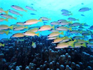 石垣島でのんびりダイビング「ヨスジフエダイ」ヒートハートクラブ