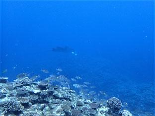 石垣島でのんびりダイビング「ナンヨウマンタ」ヒートハートクラブ