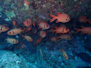 石垣島でのんびりダイビング「アカマツカサの群れ」