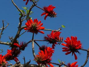 石垣島で初心者ダイビング「デイゴの花」