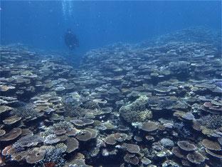 石垣島でのんびりダイビング「御神崎の珊瑚礁」ヒートハートクラブ