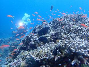 石垣島でのんびりダイビング「キンギョの根」ヒートハートクラブ