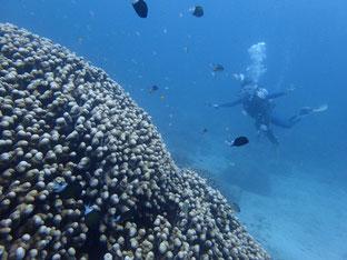 石垣島でのんびりダイビング「ピーチで着後ダイブ」ヒートハートクラブ