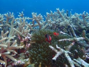 石垣島でのんびりダイビング「珊瑚の要塞」ヒートハートクラブ