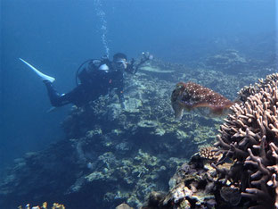 石垣島でのんびりダイビング「コブシメ」ヒートハートクラブ