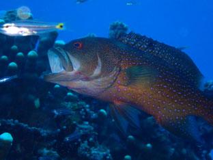 石垣島でのんびりダイビング「ミーバイのあくび」