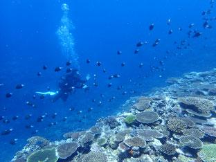 石垣島でのんびりダイビング「サンゴ畑」ヒートハートクラブ