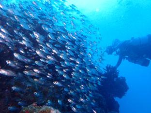 石垣島でのんびりダイビング「元旦は黒島へ」ヒートハートクラブ