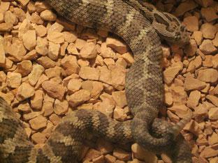 Paarung Niederkalifornische Klapperschlange