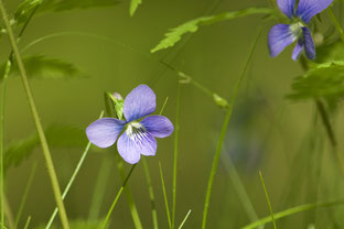 The beautiful Marsh Violet (Viola cucullata) grows in one of the forest seeps on Distant Hill.