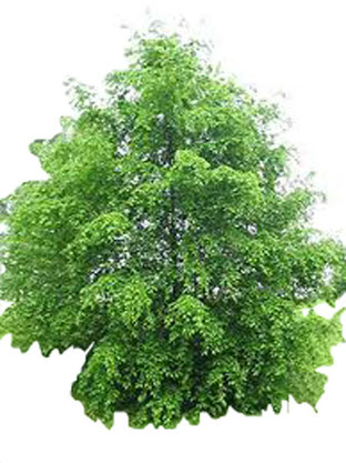 Hainbuche (Carpinus betulus), Weissbuche, Hagenbuche