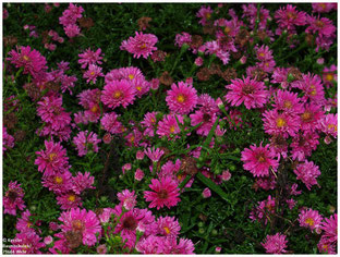 Aster 'Royal Ruby'