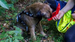 Das schmeckt ihm! Basko, der Border Terrier, hat die vermisste Person gefunden und frisst seine Belohnung.