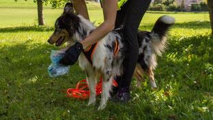 Am Start bekommt die Australian Shepherd-Hündin Zola den Geruchsartikel präsentiert.