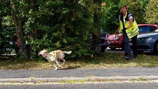 Mischlingshündin Xena startet durch beim Mantrailing, die Hundeführerin hinterher.