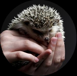 Quelle: https://pixabay.com/de/igel-niedlich-hand-stacheln-3209499/