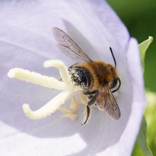 Bild: Blattschneiderbiene, Megachile