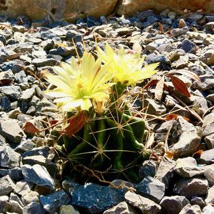 cactus verzorgen, cactus bloemen, ferocactus