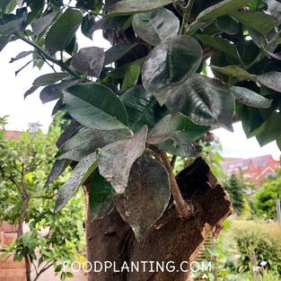 roetdauw, zwarte schimmel, citrusboom, fruitboom