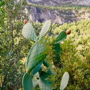 cactus verzorgen, cactus bloemen, vijgcactus, opuntia