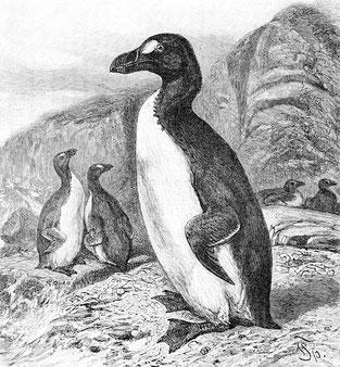 Grand Pingouin - Gravure de Richard Lydekker.